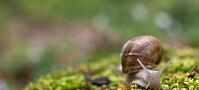 Hobbysnegler kan være farlig for norsk natur