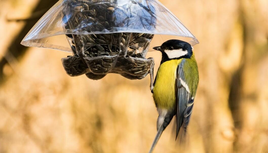 Mange mater fugler hele året. Til og med enkeltefugleforskere som forskning.nohar snakket med, gjør dette. Men hva er egentlig best for fuglene? (Foto: kavcicm, Shutterstock, NTB scanpix)