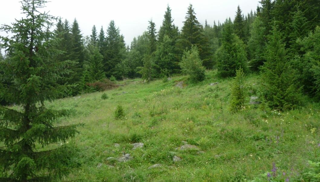 Berre tre prosent av samla landareal i Noreg er dyrka jord. Om vi skal nå den politiske målsettinga om auka matproduksjon, er det difor viktig å ta vare på desse areala. Særleg problematisk er det når jordbruksareal går ut av drift og etter kvart gror igjen med buskar og kratt.    (Foto: NIBIO)