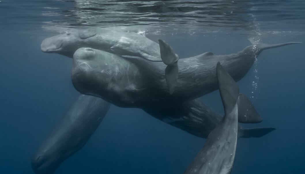 Spermhval kan bli 15-20 meter lange og veie 45-57 tonn. (Foto: Megablaster, Shutterstock/NTB scanpix)