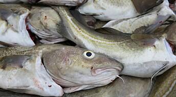 Mye fisk i nordisk steinalderkost