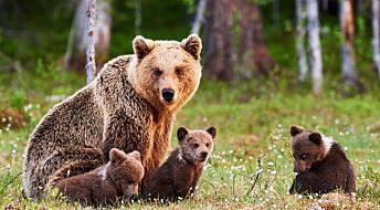 Jakt gjør bjørnunger til mammadalter