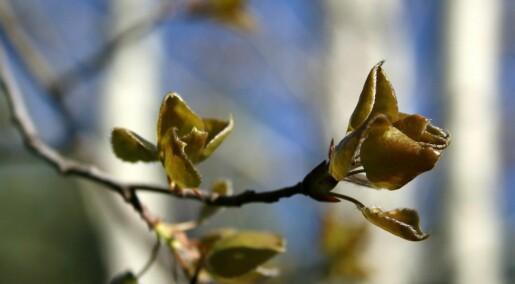 Hvordan vet trærne når de skal våkne om våren?