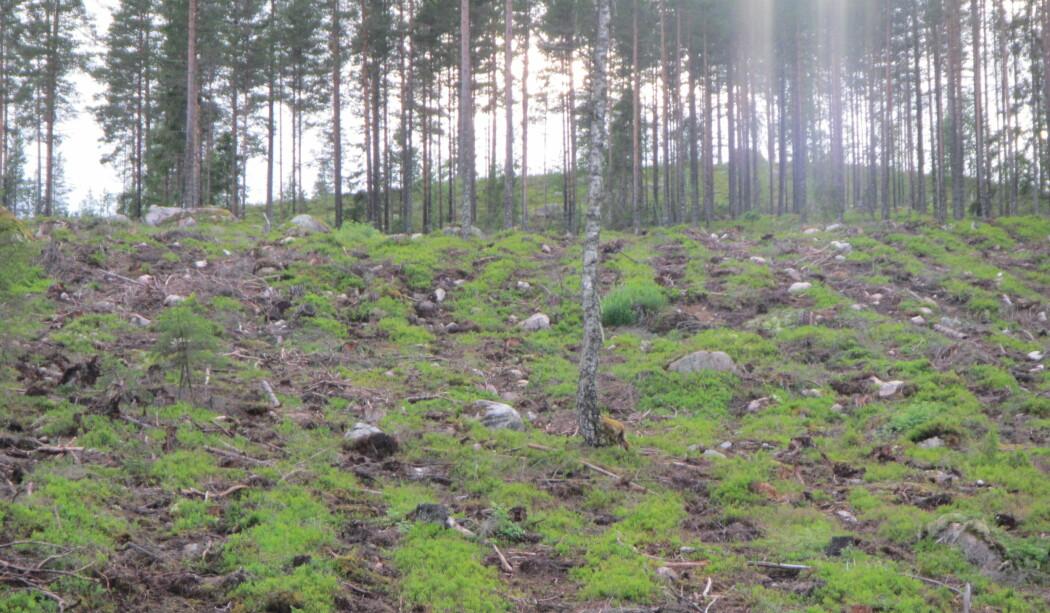 - Markberedning vil si at planter som vokser på skogbunnen og det organiske jordsmonnet graves opp og snus, samtidig som man blottlegger mineraljorda under. Dette kan gjøres i flekker eller striper med ulike maskiner, skriver forskerne. (Foto: Karen Marie Mathisen / Høgskolen i Innlandet)