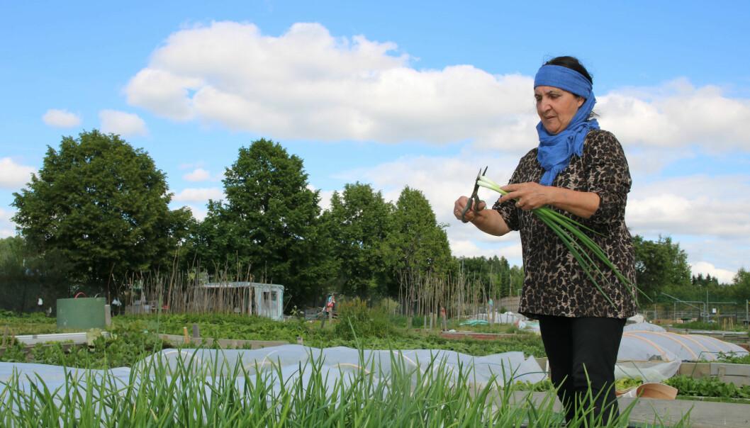 Sarina Salimi steller løk ho akkurat tok opp av jorda i parsellhagen sin på Nedre Stovner i Oslo. (Foto: Kjersti Kildahl)