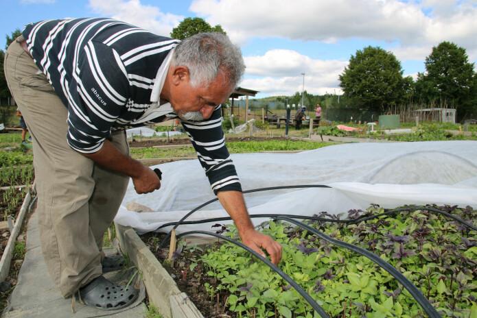 Sohrab Salimi sjekker plantene under tunellduken. Tilsyn og luking høyrer med. (Foto: Kjersti Kildahl)