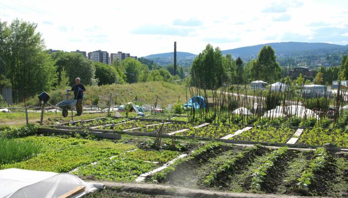 Eit mangfald av planter blir dyrka i Nedre Stovner parsellhage. Her finst 97 parsellar mellom 40 og 70 kvadratmeter store. (Foto: Kjersti Kildahl)