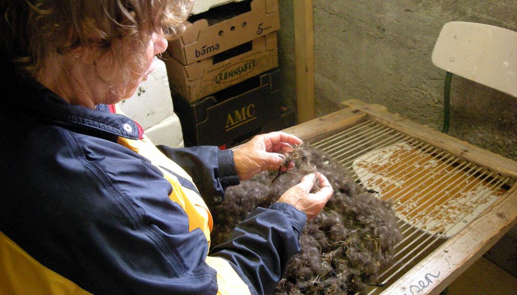 Folk samler fortsatt inn dun fra ærfugl i Nord-Norge. En dyne med denne dunen koster fort 40 000 kroner. (Foto: Birgitta Berglund / NTNU)