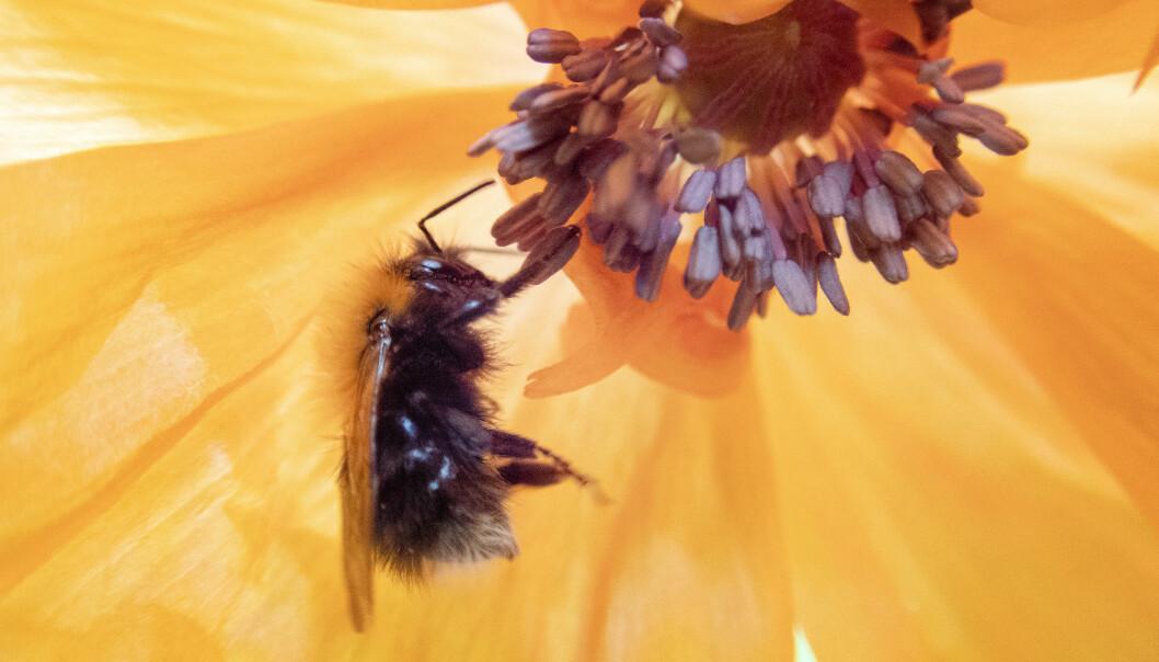 Humler og andre biearter er viktige for norsk matproduksjon og natur. (Foto: Gorm Kallestad)
