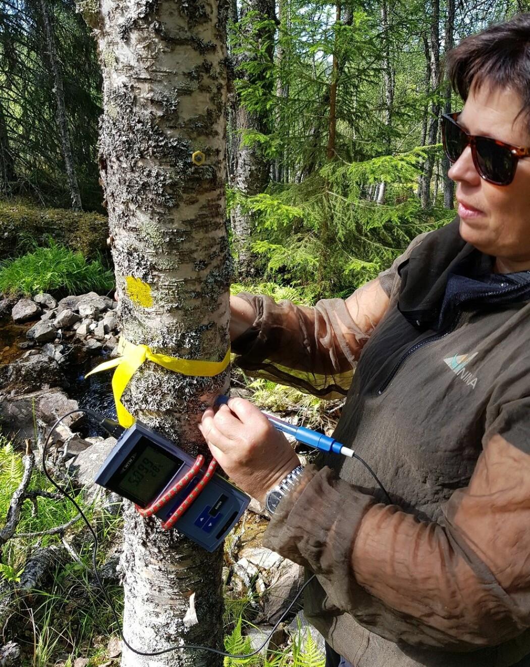 Det er overraskende krevende å gjøre denne jobben. En sonde med væske må holdes stødig på treet mens målingen stabiliserer seg. Det er kun et fåtall som behersker denne teknikken godt. Krampe i armen er et problem. (Foto: Magni Olsen Kyrkjeeide)