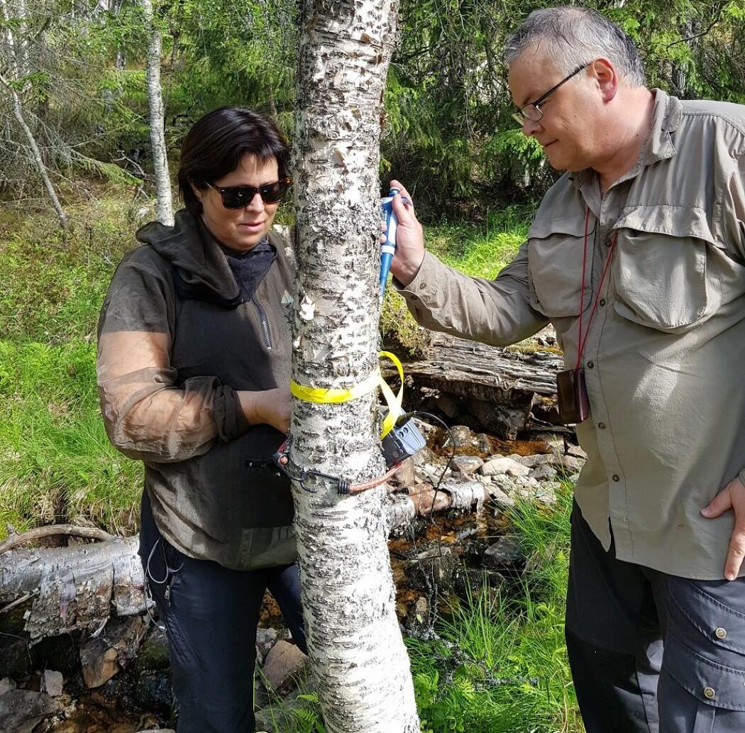 Vi måler pH i barken på bjørk. Både lavt og høyt og midt i mellom. (Foto: Magni Olsen Kyrkjeeide)
