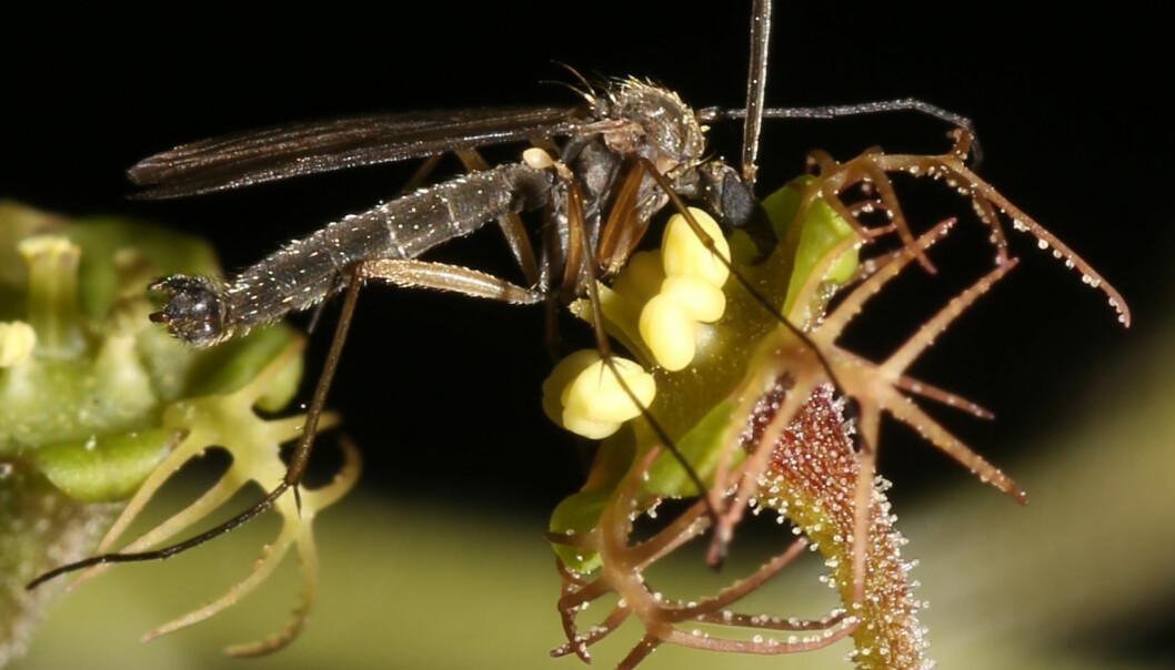 Bildet viser soppmygg og <i>Mitella</i>-blomst i tett interaksjon under pollinering. Legg merke til hvor godt blomsten er tilpasset myggen og har utviklet forgreninger slik at myggens lange ben lett kan få forfeste. Denne blomsterarten, <i>Mitella pauciflora</i>, er tilpasset soppmygg med relativt kort sugesnabel. (Foto: Yudai Okuyama)