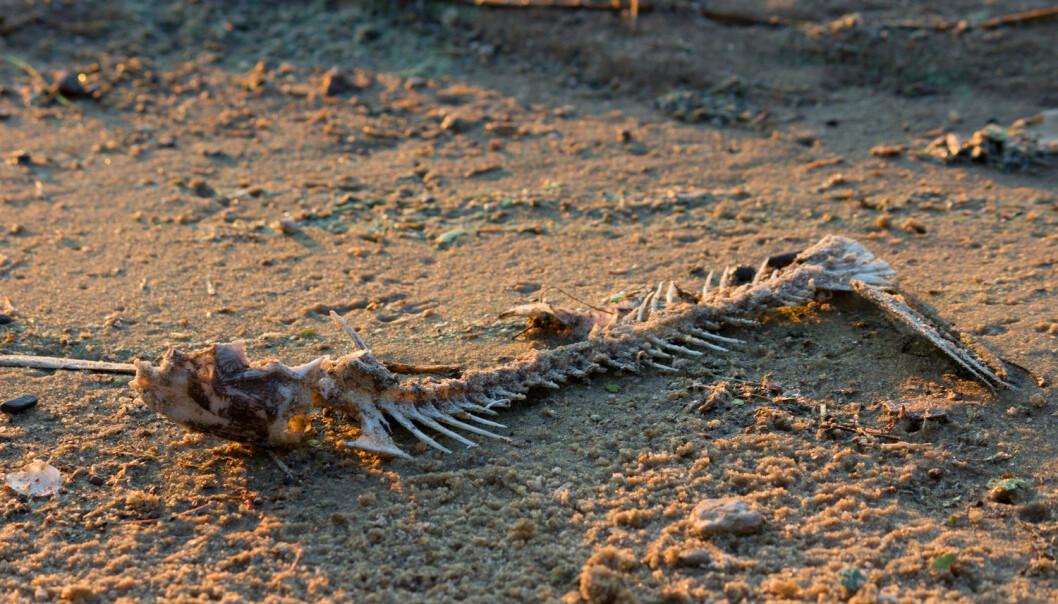 I dag dumpes ryggraden og hodene til hvitfisk som sløyes ombord i fiskebåtene. Disse beina inneholder viktig næring som kan brukes som gjødsel. Forskere jobber nå for å finne ut hvordan beina kan gjøres om til økologisk gjødsel. (Illustrasjonsfoto: Shutterstock / NTB Scanpix)