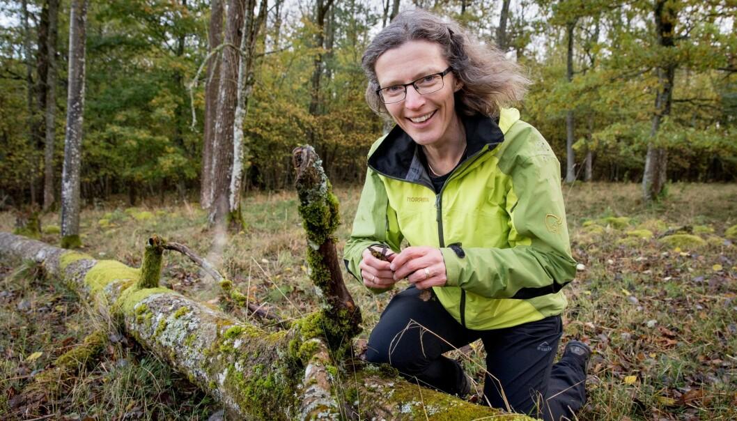 Professor Anne Sverdrup-Thygeson ved Norges miljø- og biovitenskapelig universitet (NMBU) på jakt etter sine norske favorittinsekter i døde trær i skogen. (Foto: Håkon Sparre, NMBU)