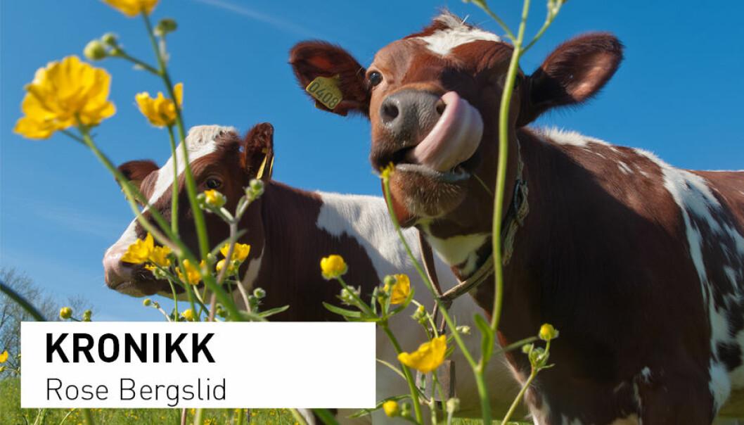 - En svært stor andel av eng og beiter i Norge brukes til produksjon av melk. Hvor det blir av kua har derfor stor betydning for hvor mye matjord som blir stående ledig til kratt og andre mindre inntektsbringende vekster, skriver kronikkforfatteren. (Foto: Heine Schjølberg)