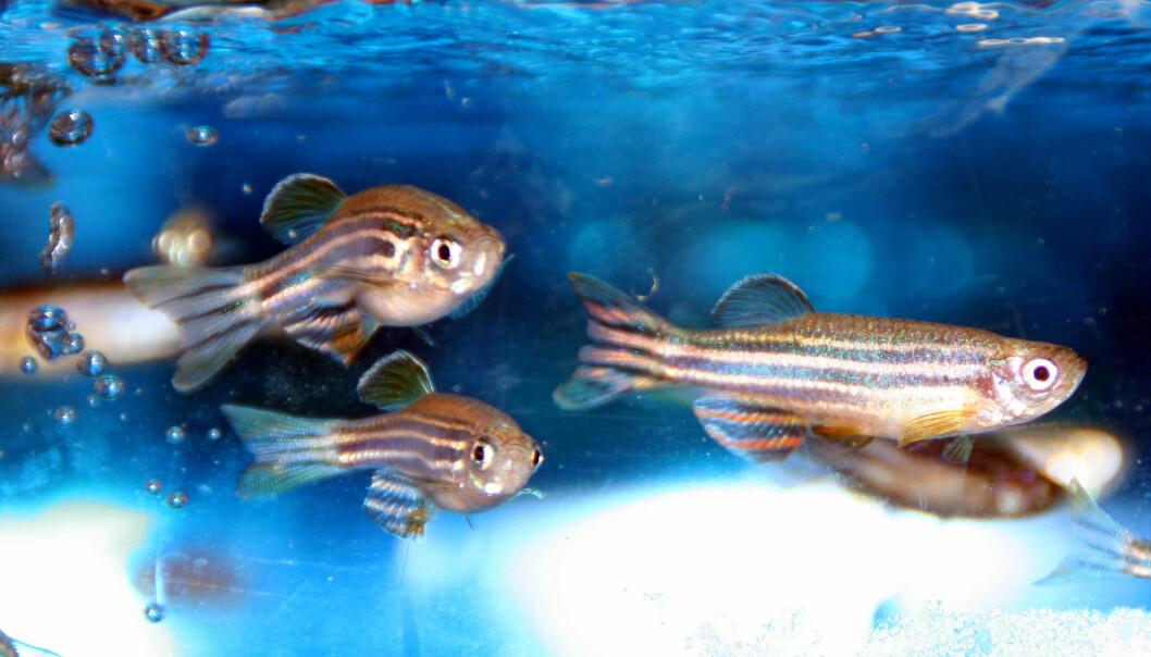 – Funnene er derfor relevante for oppdrettsnæringen, men kan også være interessant for menneskelig ernæring fordi vi ser endringer på gener som er like i funksjon hos både fisk og mennesker, sier forsker. (Foto: Havforskningsinstituttet)