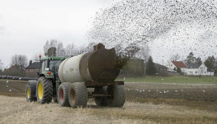 Mengden plantetilgjengelig fosfor som finnes i husdyrgjødselen i Norge, kan i teorien dekke hele det nasjonale fosforgjødselbehovet. (Foto: Svein Skøien)