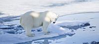 Isbjørn har fortsatt mye miljøgifter i seg