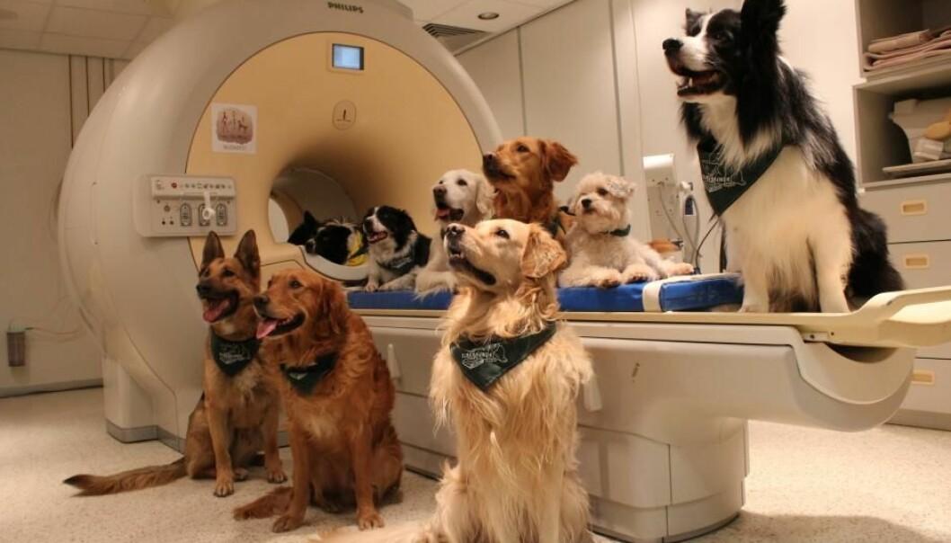 Forskere har skannet hjernene til 13 familiehunder for å finne ut om de forsto hva eierne sa til dem.  (Foto: Eniko Kubinyi)