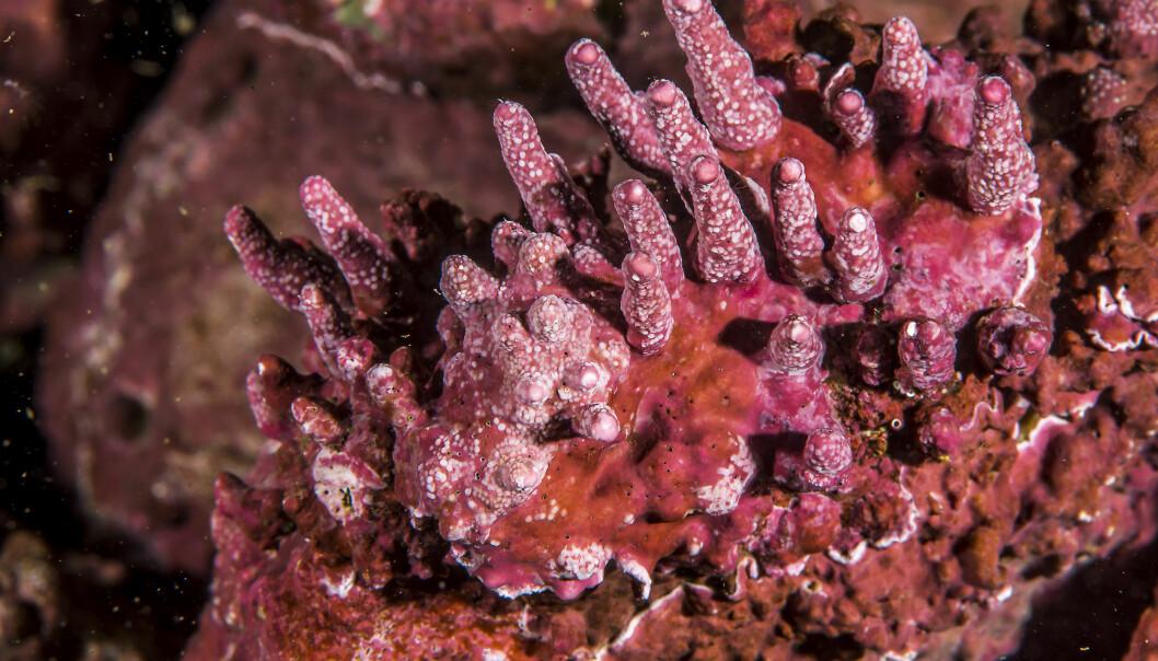 Kalkalger er saktevoksende organismer. Mens koraller vokser én centimeter i året, vokser kalkalger kun én millimeter i året. (Foto: Erling Svensen)