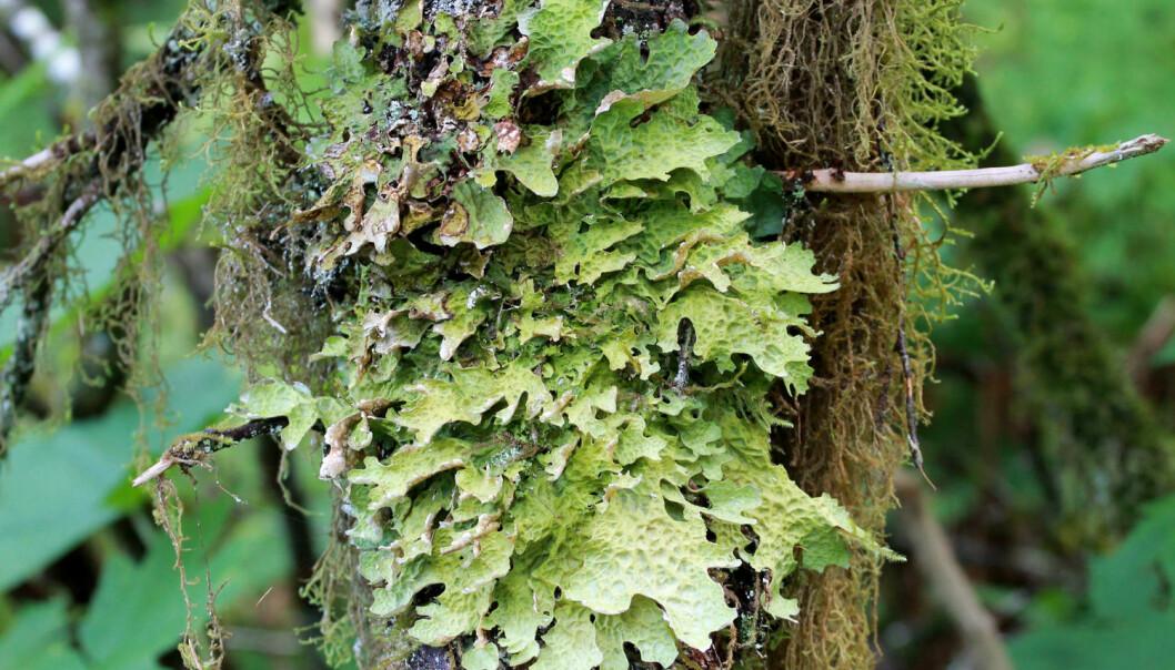 Lav er en helt spesiell livsform hvor sopp og alger, eller bakterier, lever sammen. Nå kjemper lavtypen lungenever en kamp mot en parasitt som suger til seg næringen deres. (Foto: Randy Bjorklund/Shutterstock/NTB scanpix)