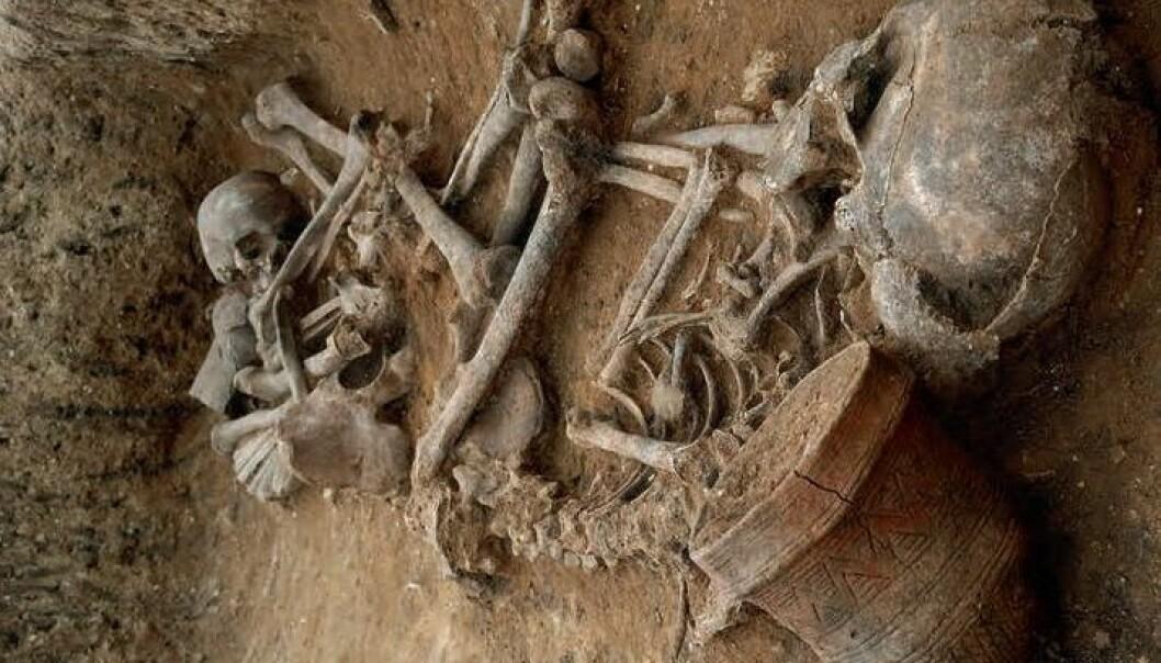 Den europeiske klokkebegerkulturen fortrengte sannsynligvis menneskene som bodde i England. Folket begravet med de karakteristiske krukkene stammet fra steppene i Sentral-Asia. (Foto: Dave Webb, Cambridge Archaeological Unit)