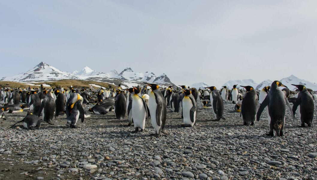 Mer enn 70 prosent av verdens kongepingviner holder til på tre øygrupper som snart blir ubeboelige på grunn av matmangel. (Illustrasjonsfoto: Colourbox)
