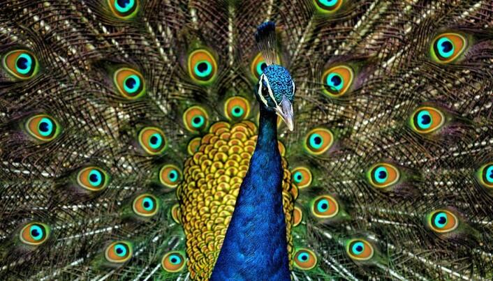 Påfuglen, det klassiske eksempelet på en som bruker mye krefter på å vise seg fram. (Bilde: Jatin Sindhu/CC BY-SA 4.0)