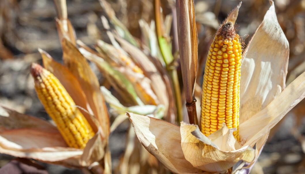 Flere fordeler og få ulemper med genmodifisert mais