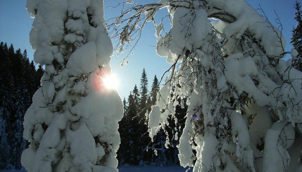 Mange stammer svaier under snøen og noen greiner brekker. Et annet problem er uttørking og frost i trærne om vinteren. (Foto: Arnfinn Christensen, forskning.no)