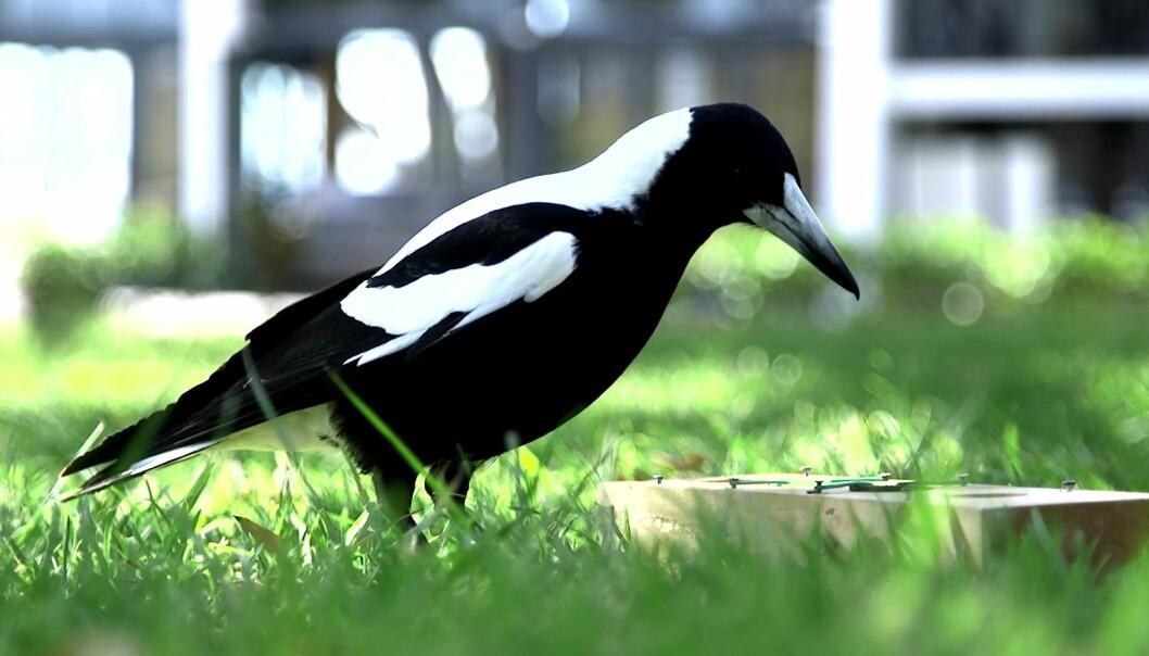 Plystreskjærer er smarte fugler. De flinkeste bor i store flokker. (Foto Benjamin Ashton, University of Western Australia)