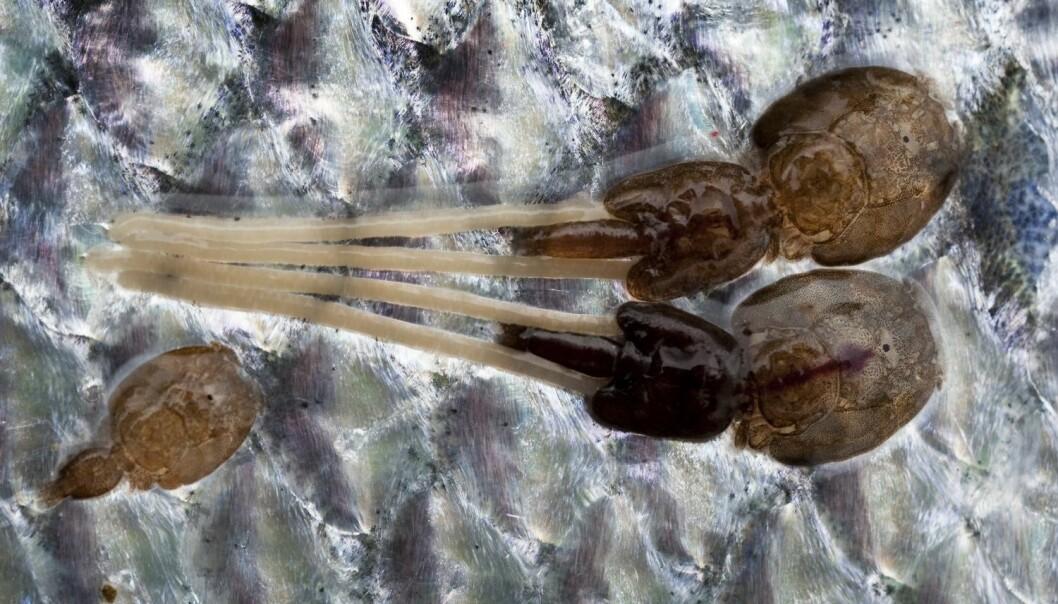 Det er blitt mindre av den forhatte lakselusa i norsk oppdrettslaks, men fortsatt dør det mange fisk. Trolig er en årsak at immunforsvaret svekkes av den tøffe mekaniske lusebehandlingen. (Foto: Marit Hommedal, NTB scanpix)