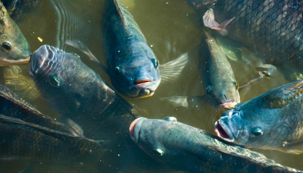 Forskerne har sett på hvor mye mors egenskaper å har å si for den populære oppdrettsfisken Tilapia. (Illustrasjonsfoto: Shutterstock / NTB scanpix)
