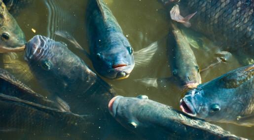 Forskeren forteller: En god mor er viktig, også for fisk