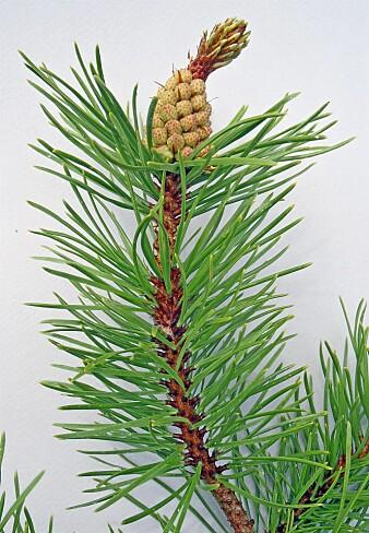 Vrifuru Pinus contorta er vurdert til å utgjøre svært høy risiko SE i norsk natur. (Foto: Eli Fremstad / NTNU Vitenskapsmuseet, CC BY 4.0)
