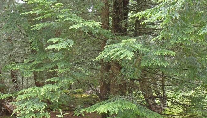 Vestamerikansk hemlokk Tsuga heterophylla er et storvokst bartre utbredt langs Stillehavskysten mellom California og Alaska, og østover til Montana og Alberta. Arten ble innført til Norge rundt 1890 og har spredte forekomster langs kysten nord til Lofoten og østover til Oslofjorden. (Foto:Eli Fremstad / NTNU Vitenskapsmuseet, CC BY 4.0)