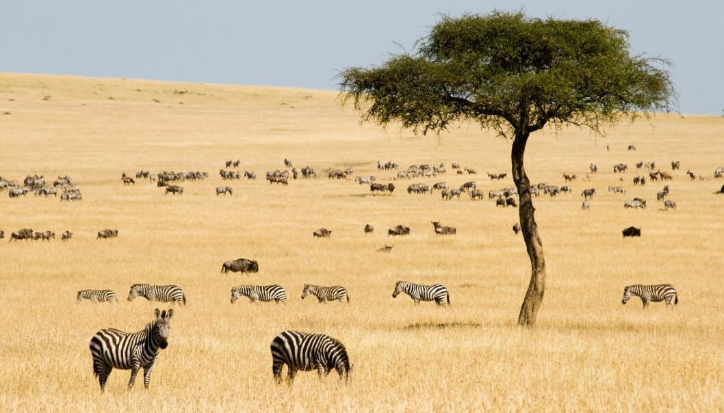 Hvordan vet plantene på savannen når de skal kjøre i gang vekstsesongen? (Foto: erichon / Shutterstock / NTB scanpix)