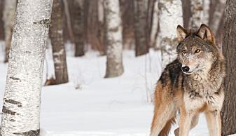 Et system for kunstig intelligens lærte seg i 2016 å kjenne forskjell på ulver og hunder. På sett og vis. Det viste seg at den mente det var snakk om en ulv når det var snø på bildet. (Foto: Geoffrey Kuchera / Shutterstock / NTB scanpix)