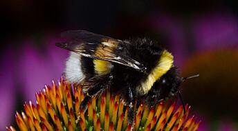 Insektmidler er bare én av mange trusler mot humlene