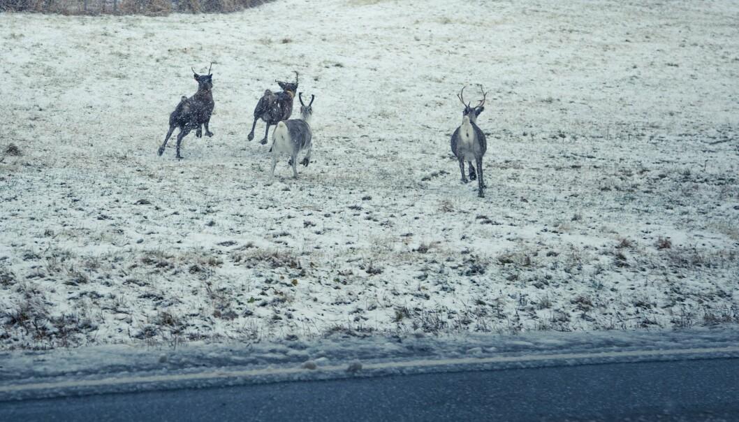 I Norge er de ville reinsdyrene blant dyra som blir påvirket i negativ retning når vi bygger for eksempel veier på tvers av gamle vandringsruter. (Foto: Colourbox)