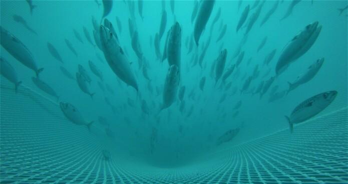 Ein makrell er ein sprintar med kropp som sklir lett i vatnet. (Foto: Havforskningsinstituttet)