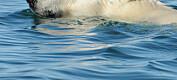Mindre havis fører til at isbjørnen svømmer lengre