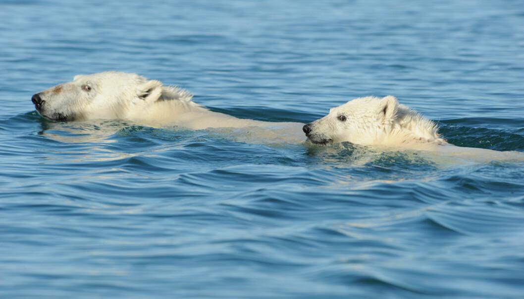 En ny studie viser at isbjørnen tar noen imponerende dykk. Det er målt dykk helt ned til 13.9 meter. (Foto: Kit M. Kovacs / Norsk Polarinstitutt)