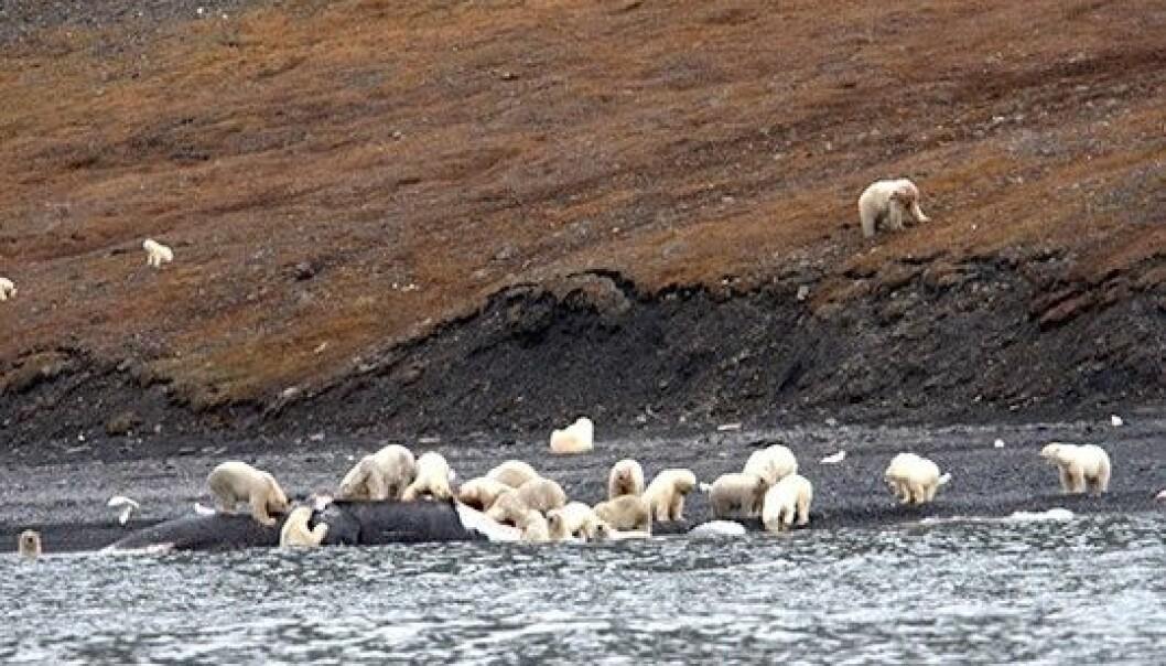 Hvalbonanza på Vrangeløya utenfor Sibir. Så mange som 250 isbjørner skal ha vært med på festen. (Foto: Alexander Gruzdev, Wrangel Island State Nature Reserve)