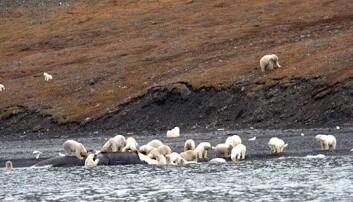 Mindre is kan gi flere slike etegilder for isbjørn