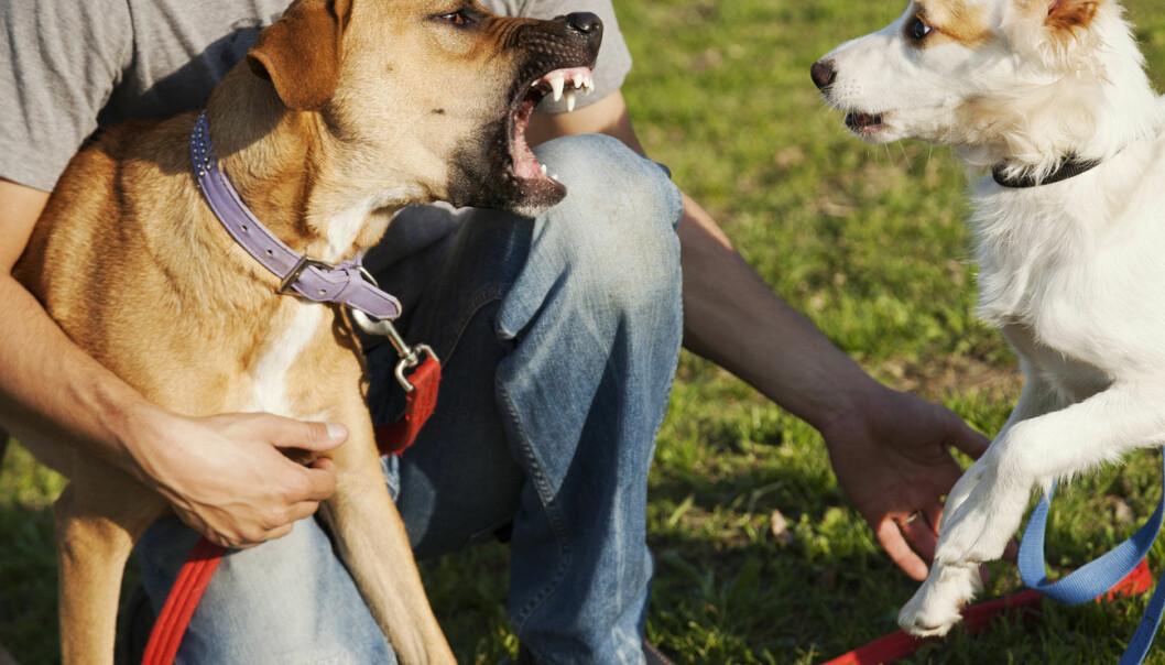 Hundeeierskap er ikke overraskende en av faktorene som øker risikoen for hundebitt. Men den er ikke den eneste.  (Illustrasjonsfoto: elbud / Shutterstock / NTB scanpix)