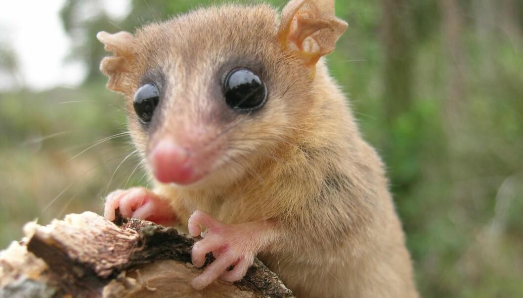 Dette er et eller annet pattedyr i en eller annen regnskog. Det viktigste er at 96 forskere har skrevet noe om det. Sammen. (Foto: Noé de la Sancha, The Field Museum)