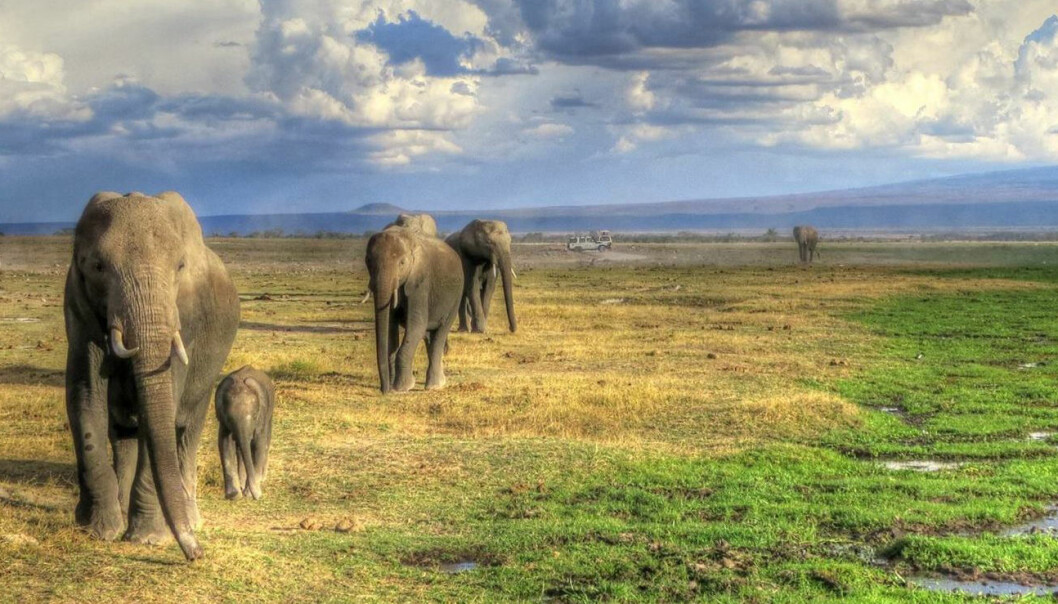 Elefanter prøver å unngå menneskekontakt, men noen ganger er det umulig. Det kan gjøre elefantene mer stresset.  (Foto: Trine Hay Setsaas)