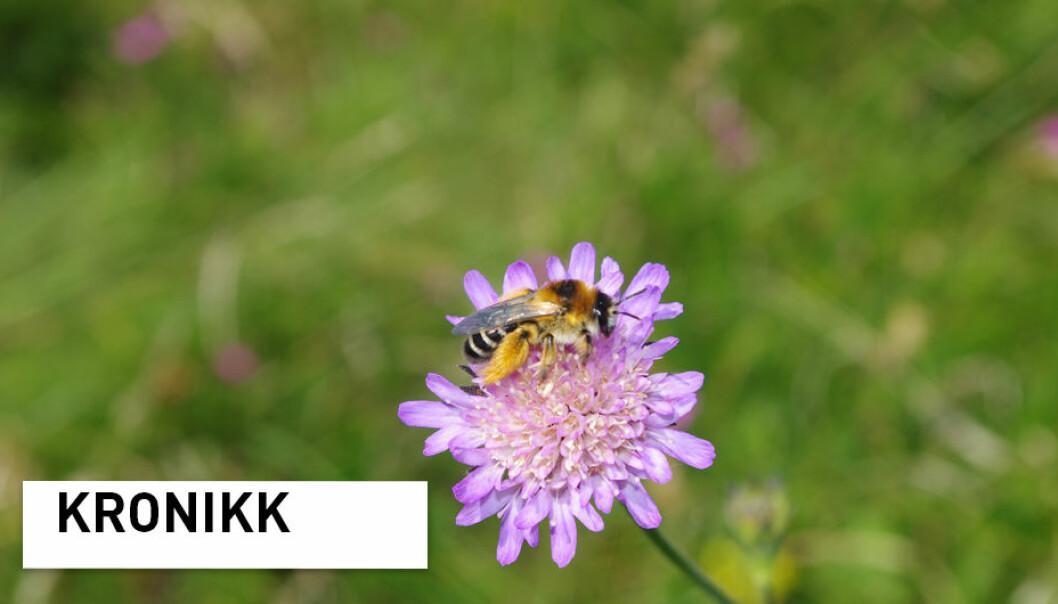 Buksebie Dasypoda hirtipes er en truet art i Norge. Det er dessverre mange biearter som er i samme situasjon. (Foto: Markus A. K. Sydenham)