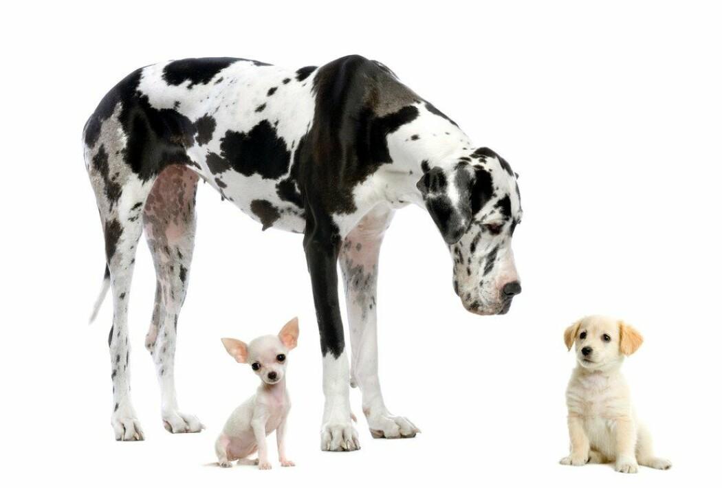 Alle ulver og hunderaser er en og samme dyreart – Canis. Hvordan kan de da være så forskjellige? En chihuahua veier 50 ganger mindre enn en engelsk mastiff-hund. (Foto: Eric Isselee / Shutterstock / NTB scanpix)